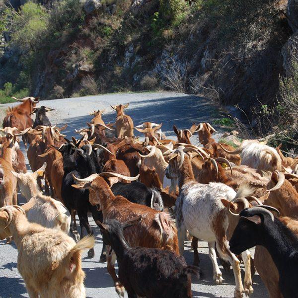 Geiten op de weg (Omgeving 2) bew